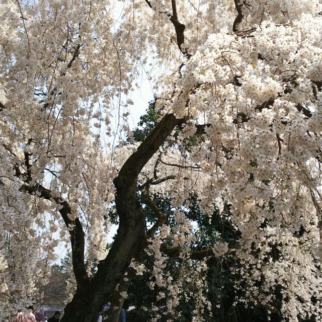 【桜情報2019】 平安神宮 神苑の桜
